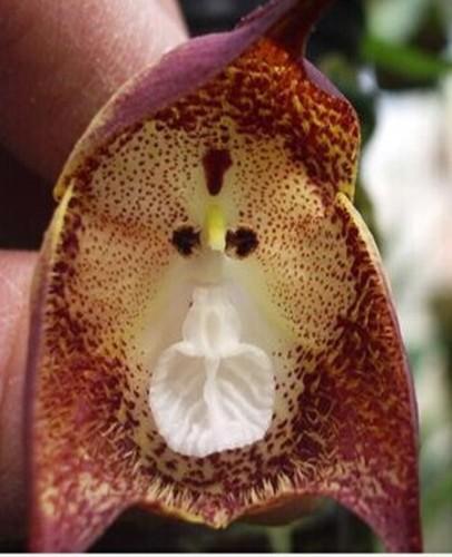 Orchid Monkey Face Purple Dots Orquídea cara de mono puntos morados semillas