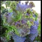Organic Purple Wave Mustard Moutarde Organic Purple Wave graines