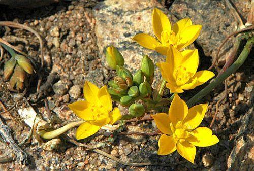 Ornithogalum multifolium  Семена