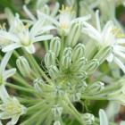 Ornithogalum pulchrum chincherinchee g?ant - syn: Albuca pulchra graines