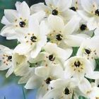 Ornithogalum saundersiae Giant Chincherinchee - Star of Bethlehem seeds