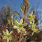 Ornithogalum secundum  afrikanische Sternblume - afrikanischer Stern von Bethlehem Samen