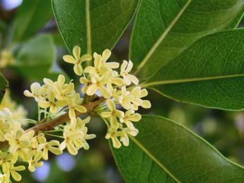 Osmanthus fragrans duftende Olive Samen