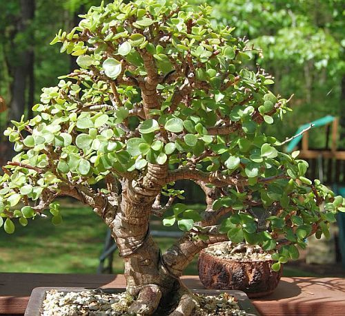 Othonna arbuscula Othonna Samen