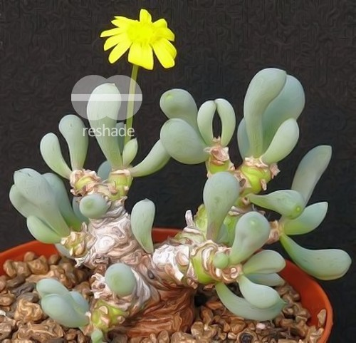 Othonna clavifolia Caudexpflanze Samen