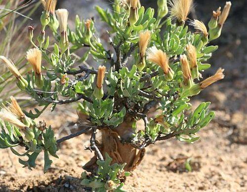 Othonna filficaulis Caudexpflanze Samen