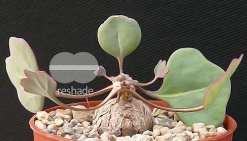 Othonna hederifolia Caudex semillas