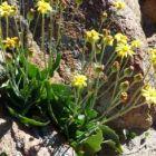Othonna oleracea plante caudex graines