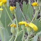 Othonna osteospermoides Caudexpflanze Samen