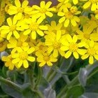 Othonna parviflora  cемян