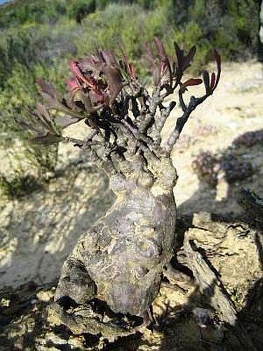 Othonna retrofracta Caudex semillas