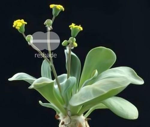 Othonna wrinkleana Caudex semillas
