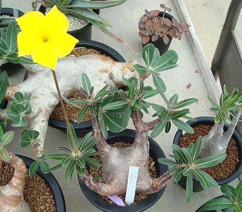 Pachypodium cactipes palmera de Madagascar semillas