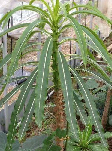 Pachypodium meridionale palmier de Madagascar graines