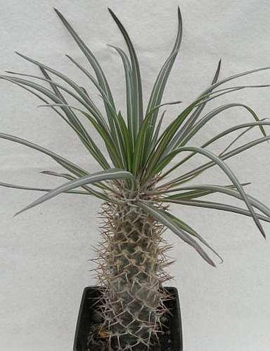 Pachypodium mikea Madagaskar – Palme Samen