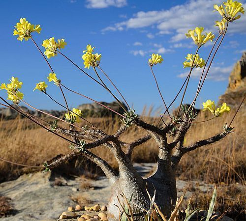 Pachypodium rosulatum var. gracilis Madagaskarpalme Samen