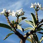 Pachypodium rutenbergianum palmier de Madagascar graines