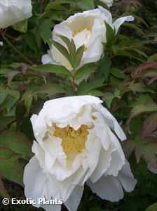 Paeonia lactiflora Cinese Peonia semi