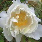 Paeonia lactiflora   cемян