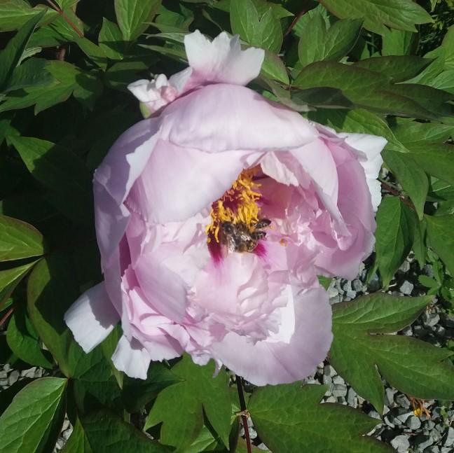 Paeonia suffruticosa Пион древовидный cемян
