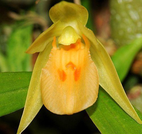 Panisea uniflora orquídea semillas