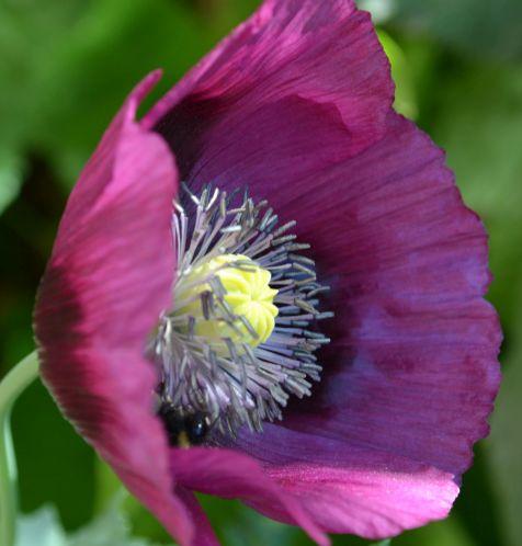 Papaver Laurens Grape Poppy Laurens Grape graines