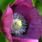 Papaver Laurens Grape  semillas
