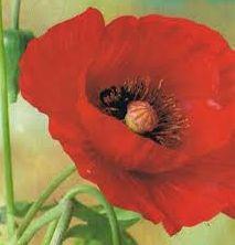 Papaver glaucum Tulip Poppy  semillas