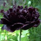 Papaver paeoniflorum Black Peony Pavot Noir ? Fleurs de Pivoine graines