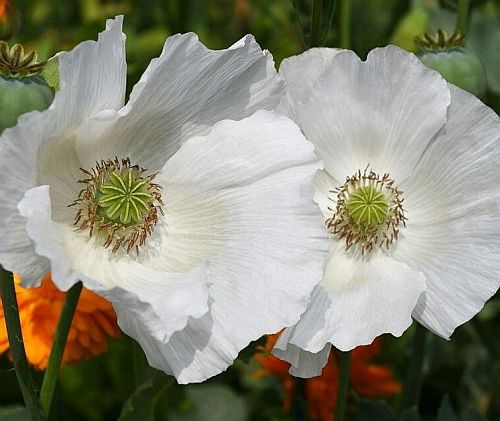 Papaver somniferum Sissinghurst White  semi