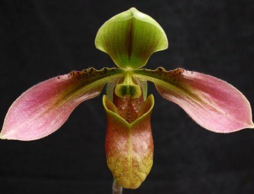 Paphiopedilum appletonianum Frauenschuh-Orchidee Samen