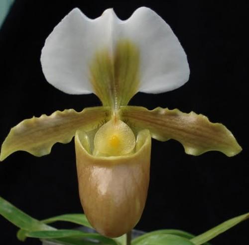 Paphiopedilum aureum Paphiopedilum Samen