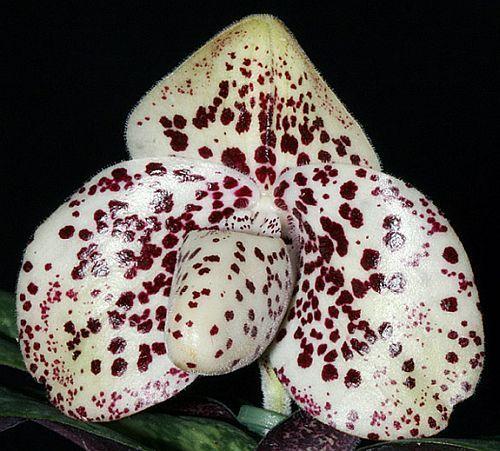 Paphiopedilum bellatulum orchidea semi