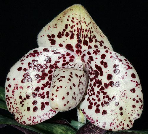 Paphiopedilum bellatulum Orchideen Samen