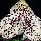 Paphiopedilum bellatulum semi orchidea