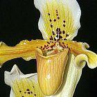 Paphiopedilum exul  cемян