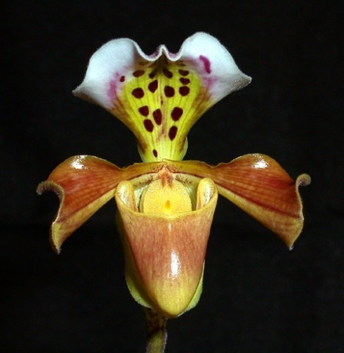Paphiopedilum gratrixianum Orchideen Samen