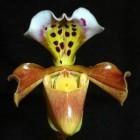 Paphiopedilum gratrixianum orchid?es graines