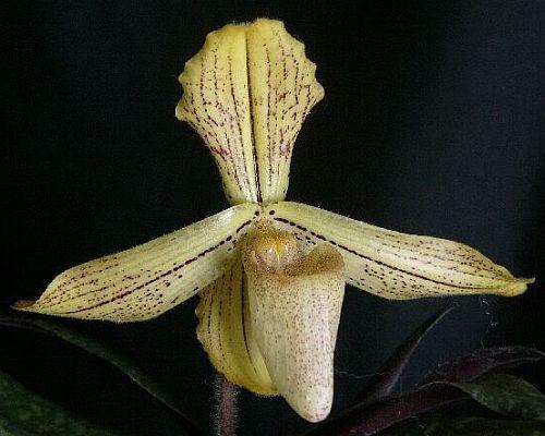 Paphiopedilum longipetaum Orchideen Samen