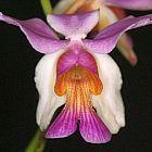 Papilionanthe teres Orchideen Samen