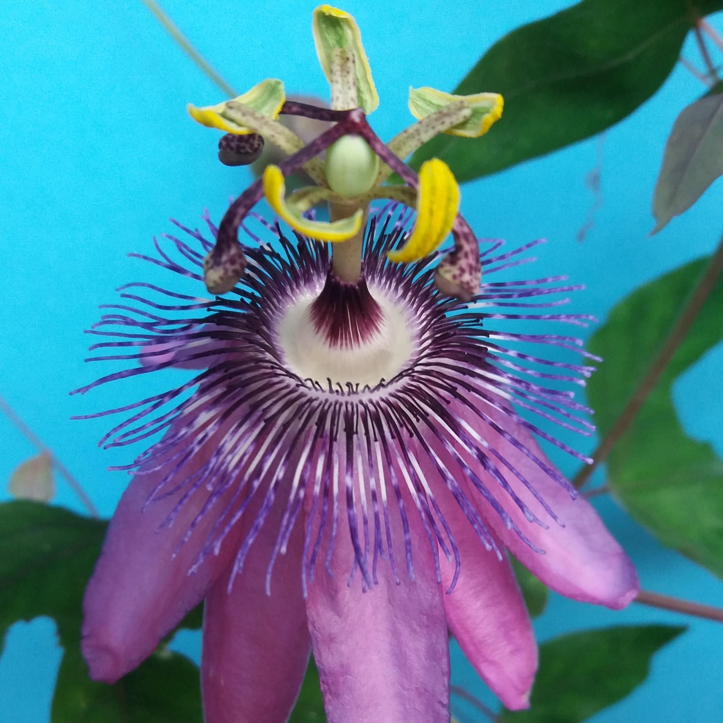 Passiflora ambigua Passionsblume Samen