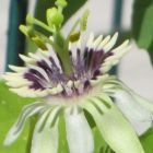 Passiflora colinvauxii Passionsblume Samen