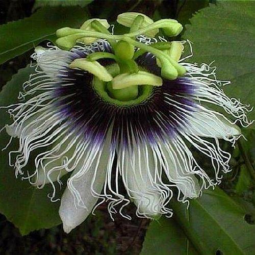 Passiflora edulis Passionsblume Samen