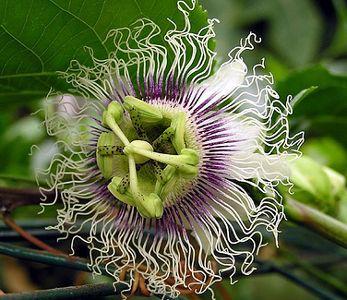 Passiflora edulis Golden giant Maracuja - Passionsfrucht Samen