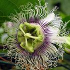 Passiflora edulis Golden giant  semillas