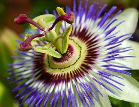 Passiflora incarnata Passionsblume Samen
