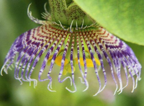 Passiflora maliformis Passionsblume Samen