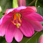 Passiflora mollisima  semillas