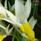 Pecteilis sagarikii Enten Orchidee Samen