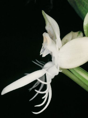 Pecteilis susannae Orchideen Samen